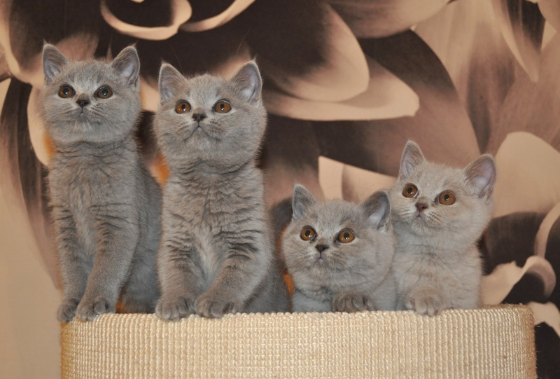 Lallevamento Cattery Of British Shorthair